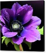 Purple Anemone Flower Canvas Print by Gitpix