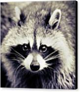Raccoon Looking At Camera Canvas Print by Isabelle Lafrance Photography