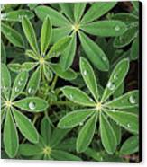 Raindrops On Lupine Canvas Print by Greg Vaughn - Printscapes