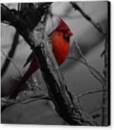 Redbird Canvas Print by Shawn Wood