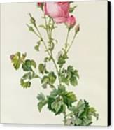 Rosa Centifolia Bipinnata Canvas Print by Pierre Joseph Redoute