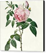 Rosa Chinensis And Rosa Gigantea Canvas Print by Joseph Pierre Redoute