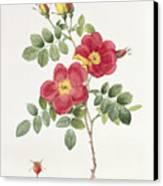 Rosa Eglantera Punicea Canvas Print by Pierre Joseph Redoute