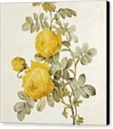 Rosa Sulfurea Canvas Print by Pierre Redoute