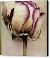 Rose 2 Canvas Print by Marion Galt