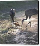 Sandhill Crane Family In Morning Sunshine Canvas Print by Carol Groenen