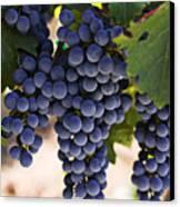 Sauvignon Grapes Canvas Print by Garry Gay