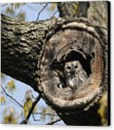 Screech Owl In A Tree Hollow Canvas Print by Darlyne A. Murawski