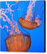 Sea Nettles Chrysaora Fuscescens In Canvas Print by Stuart Westmorland