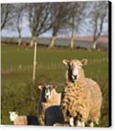 Sheep, Lake District, Cumbria, England Canvas Print by John Short