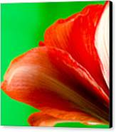 Simply Amaryllis Red Amaryllis Flower On A Green Background Canvas Print by Andy Smy