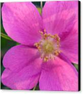 Soft Light On Nootka Rose Rosa Nutkana Canvas Print by Ralph Lee Hopkins