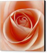 Soft Rose Canvas Print by Steve Williams