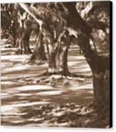 Southern Sunlight On Live Oaks Canvas Print by Carol Groenen
