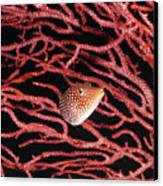 Spotted Boxfish Hides In Red Sea Fan Canvas Print by James Forte