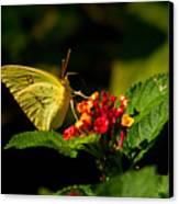 Sulpher Butterfly On Lantana Canvas Print by Douglas Barnett