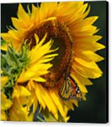Sunflower And Monarch 3 Canvas Print by Edward Sobuta
