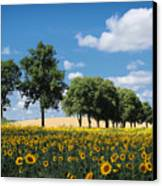 Sunflower Field 2 Canvas Print by SK Pfphotography