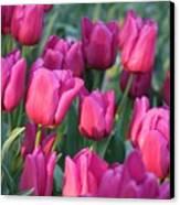 Sunlight On Pink Tulips Canvas Print by Carol Groenen