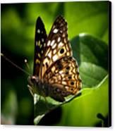 Sunlit Butterfly Canvas Print by Karen M Scovill