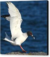 Swallow Tailed Gull Landing Canvas Print by Alan Lenk