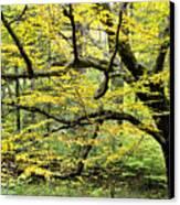 Swamp Birch In Autumn Canvas Print by Thomas R Fletcher