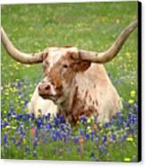 Texas Longhorn In Bluebonnets Canvas Print by Jon Holiday