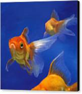 Three Goldfish Canvas Print by Simon Sturge
