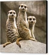 Three Meerkats Canvas Print by Chad Davis