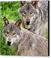 Timber Wolf Pair Canvas Print by Michael Cummings