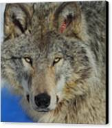 Timber Wolf Portrait Canvas Print by Tony Beck