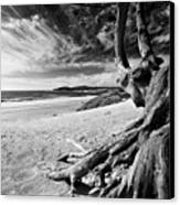 Tree Roots Carmel Beach Canvas Print by George Oze