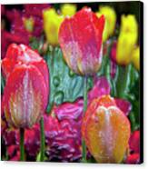 Tulip Candy Canvas Print by Don  Wright