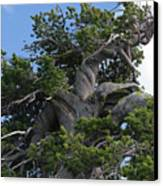 Twisted And Gnarled Bristlecone Pine Tree Trunk Above Crater Lake - Oregon Canvas Print by Christine Till
