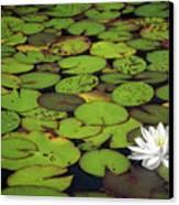 Water Lily Canvas Print by Elisabeth Van Eyken
