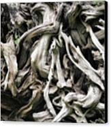 Weathered Roots - Sitka Spruce Tree Hoh Rain Forest Olympic National Park Wa Canvas Print by Christine Till