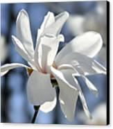 White Magnolia  Canvas Print by Elena Elisseeva