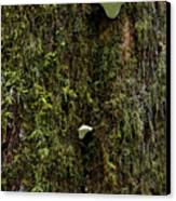 White Mushrooms - Quinault Temperate Rain Forest - Olympic Peninsula Wa Canvas Print by Christine Till