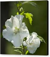 White Rose Of Sharon Squared Canvas Print by Teresa Mucha
