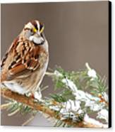 White Throated Sparrow Canvas Print by Alan Lenk