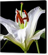 White Tiger Lily Still Life Canvas Print by Garry Gay