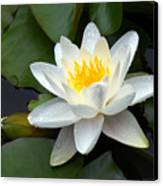 White Water Lily And Bud Canvas Print by Susan Isakson