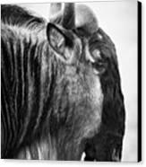 Wildebeest Canvas Print by Adam Romanowicz