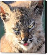 Young Bobcat 04 Canvas Print by Wingsdomain Art and Photography