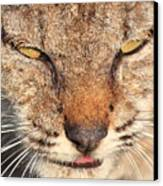 Young Bobcat Portrait 01 Canvas Print by Wingsdomain Art and Photography