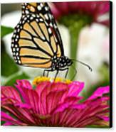 Zinnia Rose And Monarch Canvas Print by Steve Augustin