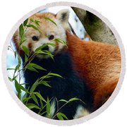 Red Panda Round Beach Towel by Trever Miller