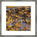 Bull Kelp Blades On Surface Background Texture Framed Print by Stephan Pietzko