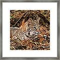 611000006 Bobcat Felis Rufus Wildlife Rescue Framed Print by Dave Welling