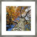 Big Orange Maple Tree Framed Print by Christina Rollo
